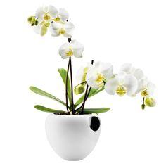 Orkidearuukku