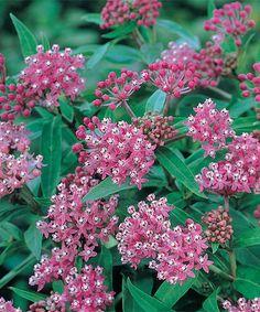 Look what I found on #zulily! 'Sweet Vanilla' Butterfly Flower Bare-Root #zulilyfinds