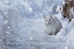 Snow cat - null