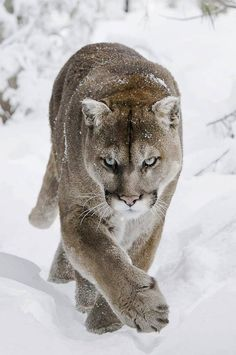 The look on this Panthers face tells so much. The way he stares straight ahead at his target, wanting something. Something big. Something alive. His gaze is strong, as he slips over the snowy hill, oblivious to the sparkling flakes around him. Standing out from the frigid white snow, with his amazing tan coat, he melts my heart.