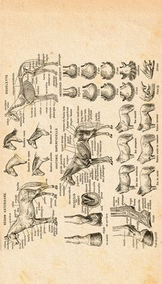 Horse conformation chart (upended for a better fit) Large Animal Vet, Large Animals, Animal Care, Horse Information, Horse Anatomy, Horse Facts, Animal Science, Horse Quotes, Horse Training
