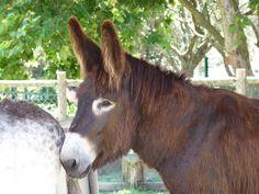burro mirandês - Pesquisa do Google
