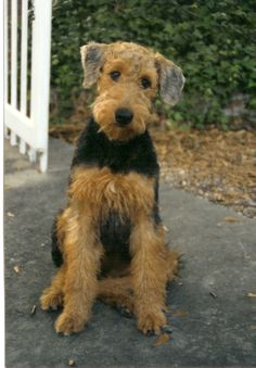 "Airedale - who would believe that with such a ""who me?"" kind of expression they can be such a bundle of mischief!"