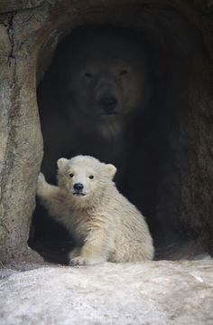 Young polar bear with mom watching