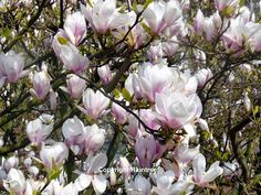 Diary Of A Wild Country Garden: Magnificent Magnolias In The Spring Garden