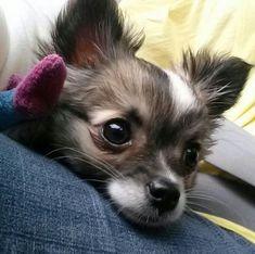 Mojo my long haired chihuahua puppy