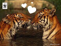 Verras jouw lief met een Valentijger! Adopteer symbolisch 'n tijger en help de tijger en z'n leefgebied te beschermen.