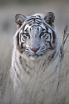 Italian-Luxury — w-canvas:  Tiger in White | Photographer