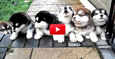 Puppies. Howling. 4-Weeks-Old. I Can't Handle It! You Have To See This. | The Animal Rescue Site Blog