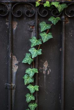 English ivy/ Hedera helix Uses: It is used in landscaping and medicine.