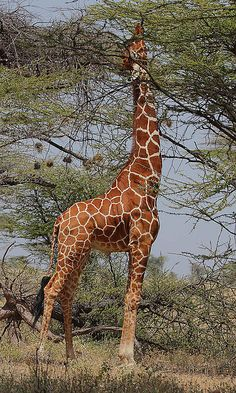 An adult male giraffe feeding high up on an acacia