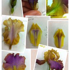 Anatomy of an Iris flower ...