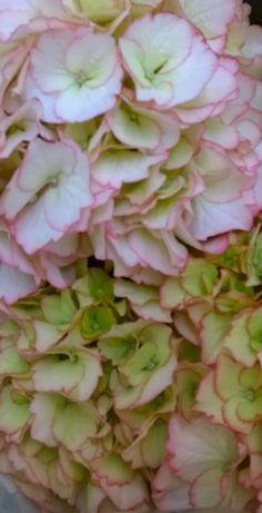Cabbage, Vegetables, Rose, Flowers, Plants, Pink, Cabbages, Vegetable Recipes, Plant