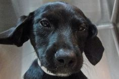 Adama | Pets Available | PAWS Chicago