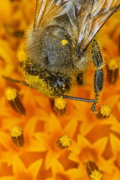 A bee shrouded in pollen as it harvests the nectar from a sunflower, thus involuntarily taking care of pollinating the plant. One could believe that the foraging of pollen would be the main cause of pollination, but it is, in fact, the collection of nectar which proves most effective for pollination.  Bees.