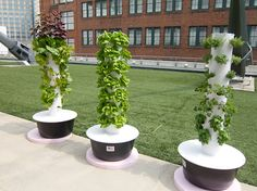 Hydroponic vegetables and herbs grown on the rooftop terrace.  Photo by Doug Bardwell
