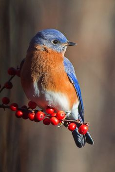 Male Eastern Bluebird Cheryl Rose … - Top Of The World Cute Birds, Pretty Birds, Beautiful Birds, Animals Beautiful, Cute Animals, Exotic Birds, Colorful Birds, Exotic Pets, Tier Fotos