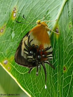 ˚Butterfly (Helicopis gnidus) ~ now this is just plain CREEPY... looks like a beautiful moth/butterfly being attacked by a horrendous spider of the most horrible kind... talk about your 'beauty and the beast'...