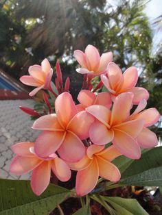 Pink Hawaiian flowers.