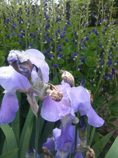 Iris & False Indigo
