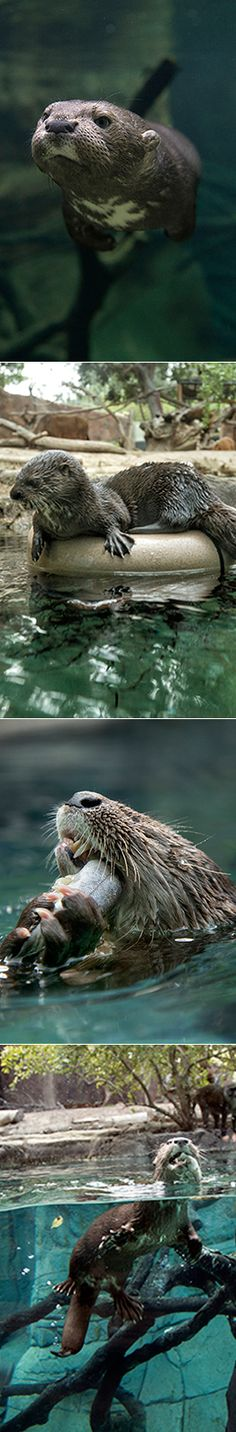 "A Mammal Like No ""Otter"" 