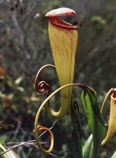 Pitcher plants.  All kinds of weird plants at this link!