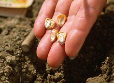 Semez les graines de maïs doux en poquets dans votre potager. Éclaircissez les plants de ce légume sucré nécessitant beaucoup d'eau et de chaleur.