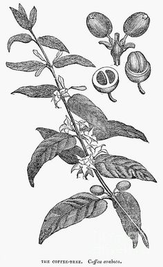 Tree Illustration, Botanical Illustration, Tatoo Art, Art Tattoos, Coffee Process, Coffee Study, Coffee Artwork, Section Drawing, Black And White Coffee
