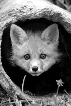 beautiful-wildlife: Red Fox Kit In Log by Gerry Ellis The Animals, Baby Animals, Funny Animals, Exotic Animals, Beautiful Creatures, Animals Beautiful, Animals Amazing, Beautiful Things, Beautiful Pictures