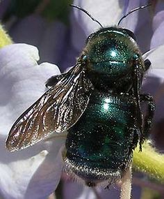 female metallic(green) carpenter bee
