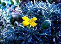Cretan chain In cliffs and rocky slopes would meet, a plant that the leaves are covered with gray cloth and flowers have petals bright yellow color. Greek Flowers, Wild Flowers, Forest Mountain, Grey Outfit, Tree Forest, Flowering Trees, Wonders Of The World, Leaves, Colours