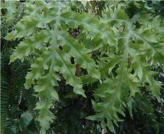 Nome botanico: Polypodium aureum Nomes Populares: Polipódio, samambaia-azul Família: Pteridophyta - Família Polypodiaceae Origem:Originária de diversos países: Brasil, Argentina, Austrália  Samambaia de grande...