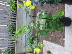Calceolaria calycina Yellow Bract, Slipper Flower 6' Slippers, Yellow, Garden, Flowers, Plants, Garten, Lawn And Garden, Slipper, Gardens