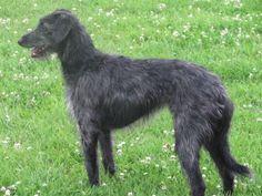 Lurcher - Bedlington Terrier x Whippet cross. A lurcher is a cross between a sighthound