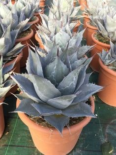Agave parrasana is a slow-growing succulent that produces compact, usually solitary rosettes of fleshy, grey-green leaves irregularly dusted with a silvery-blue coating. Growing Succulents, Growing Flowers, Cacti And Succulents, Planting Succulents, Succulent Arrangements, Air Plants, Indoor Plants, Indoor Cactus, Indoor Gardening