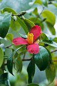 385011 - Camellia (Camellia x vernalis 'Sayohime')