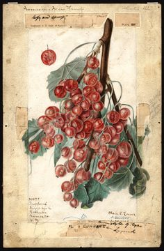 Gooseberries, Elsie E. Lower, 1909 - U.S. Department of Agriculture Pomological Watercolor Collection. Rare and Special Collections