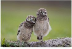 Trademark Art 'Friends Owls' Photographic Print on Wrapped Canvas Nature Animals, Animals And Pets, Funny Animals, Cute Animals, Funny Owls, Beautiful Birds, Animals Beautiful, Owl Canvas, Canvas Art