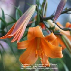 Lilium Africa Queen  photo by sgardener
