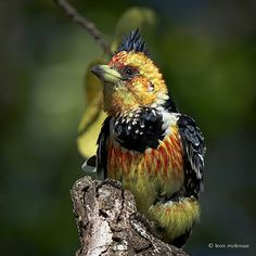Crested Barbet | Wild South Africa Kruger National Park Sout… | Flickr - Photo Sharing!