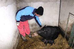 Decizie importantă pentru fermierii români. S-a dat undă verde pentru exportul porcilor vii în UE
