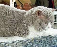 Known as Selkirk Rex, the breed is the fourth type of curly haired cat, but it's distinct from other Rex breeds. Unlike the Devon Rex and Cornish Rex, this breed's hair is of normal length and isn't prone to balding, and it differs from the LaPerm breed because its coat is thicker. Catsincare.com