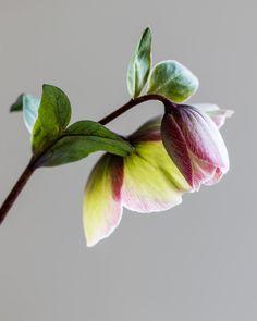 Heavenly hellebores: bicoloured flowers on dark stems and marbled foliage, Helleborus 'Bayli's Blush' - Cloverhome.nl