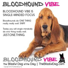 BLOODHOUND VIBE