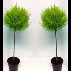 SPECIAL DEAL - Pair of Evergeen Patio Goldcrest Lollipop Trees