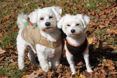 Max and Mini is an adoptable Maltese Dog in Pelham, NH MINI AND MAXMaltese male and femaleMini and Max are a bonded pair of young Maltese dogs that ... ...Read more about me on @petfinder.com