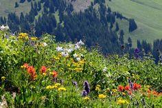 Study: Rockies' wildflower season 35 days longer from climate change