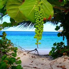 Culebra, PR. Uvas de Playa, wait till they are red and delicious!