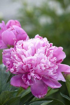 peony Best Perennials, Flowers Perennials, Planting Flowers, Flowers Garden, Hardy Perennials, Flower Gardening, Perennial Flowering Plants, Blooming Plants, Spring Plants