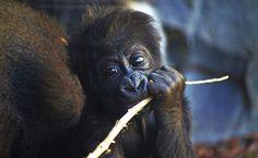 """La bebé gorila nacida en BIOPARC Valencia se llamará VIRUNGA. Homenaje y reconocimiento al Parque Nacional más antiguo y rico en fauna salvaje de África y hogar de una cuarta parte de los gorilas de montaña del planeta. Declarado Patrimonio de la Humanidad, es conocido por la película """"Gorilas en la niebla"""" que narra la investigación de Dian Fossey con esta especie. Más información: www.bioparcvalencia.es"""